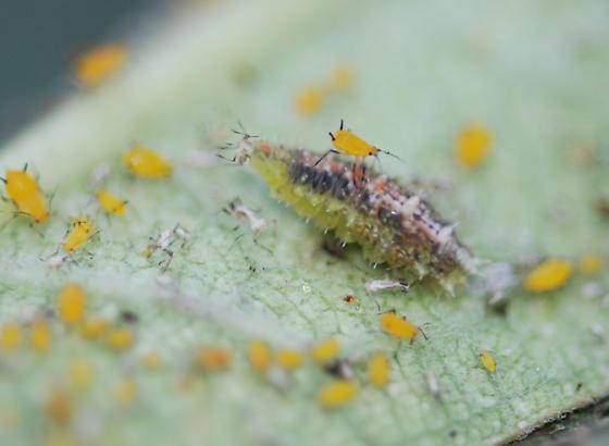 Aphid-munching larva