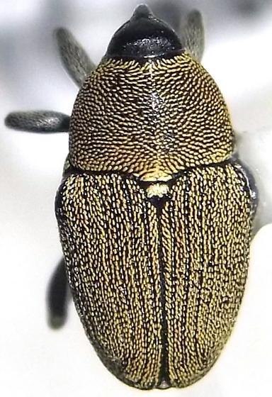 Odontocorynus pulverulentus (Casey) - Odontocorynus pulverulentus - female