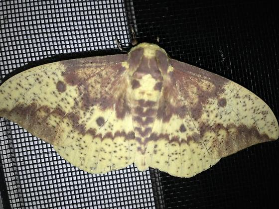 Moth photo 1 of 2.  - Eacles imperialis