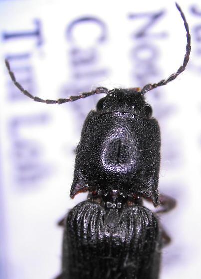 Elaterid 1 - Hemicrepidius