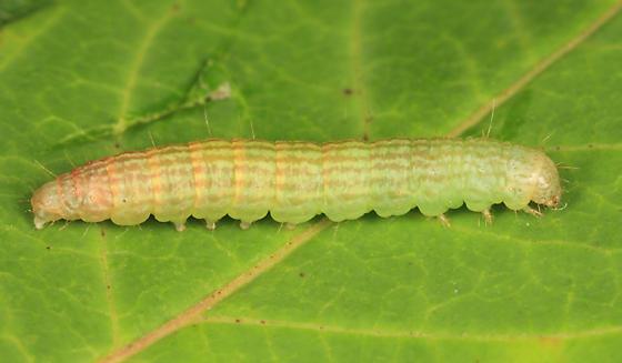 caterpillar on sumac  - Sciota subfuscella