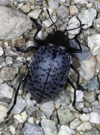 Very pleasing fungus beetle - Cypherotylus californicus