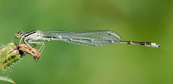 Damselfly Type? - Enallagma signatum - male