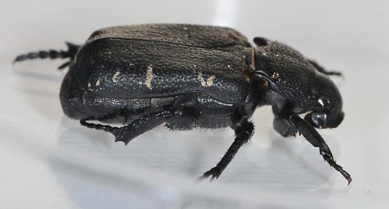 beetle - Cremastocheilus angularis