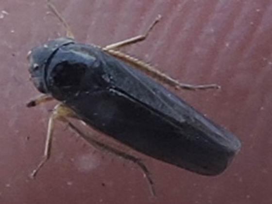 Ciminius hartii? from Mansfield, Texas - Ciminius hartii