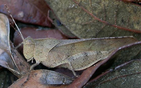 Crepitating grasshopper