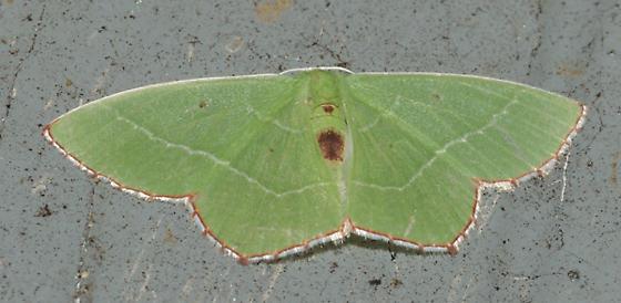 Green moth with fancy border - Nemoria saturiba