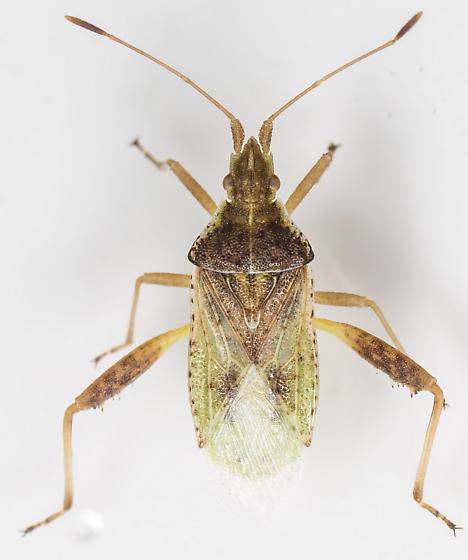 Bug - Harmostes reflexulus