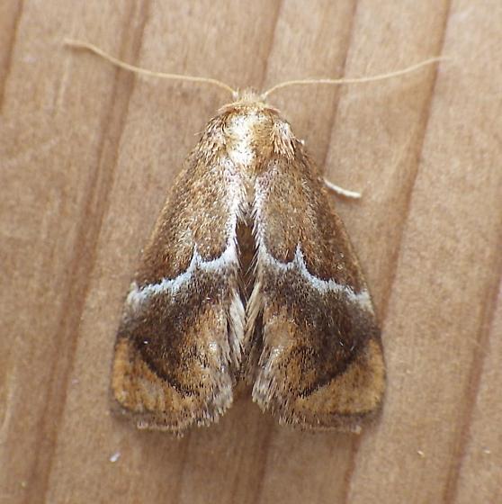 Limacodidae: Lithacodes fasciola - Lithacodes fasciola