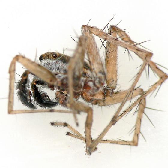 Carapace, lateral view - Pardosa distincta - male
