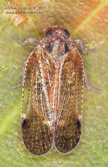 Fulgoridae ?