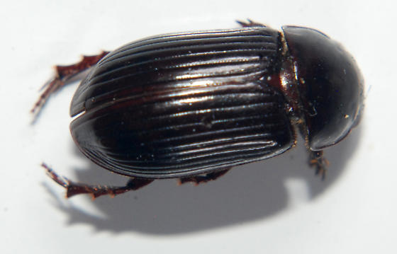 Scarab - Aphodius rufipes