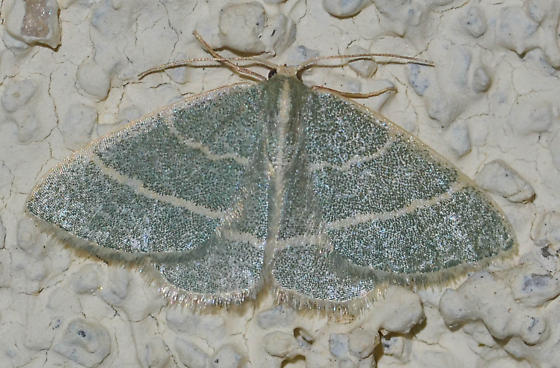 emerald - Chlorochlamys triangularis - female