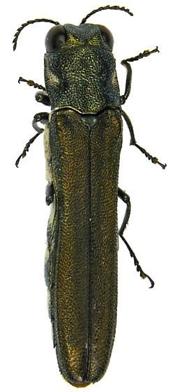 Male, Agrilus latifrons? - Agrilus latifrons - male