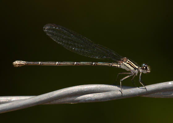 Unknown Damselfly - Argia translata - female