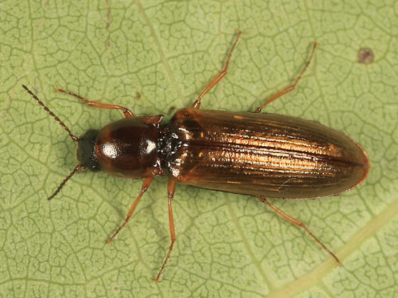 click beetle - Oestodes tenuicollis - female