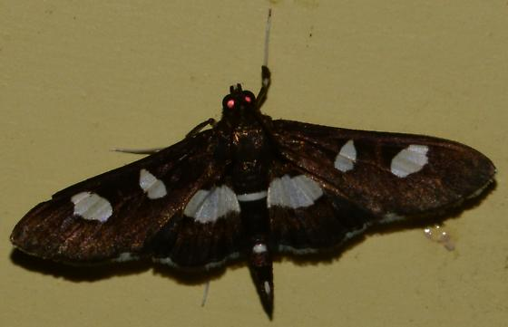 White spotted moth - Desmia
