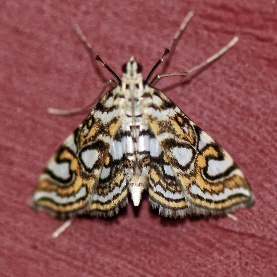 Gem Moth - Elophila ekthlipsis