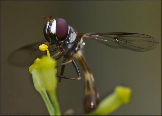 Syrphidae, Syrphid Fly, Pseudodoros Q - Dioprosopa clavata