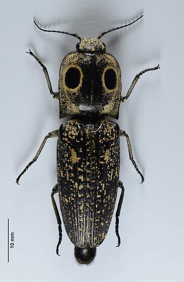 Eyed clicker - Alaus - Alaus oculatus - female