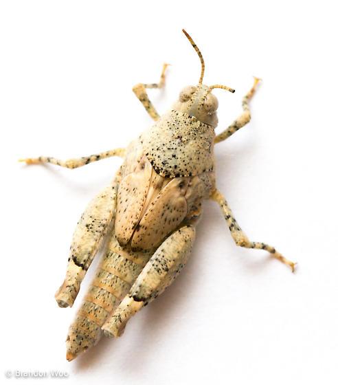 Cibolacris parviceps