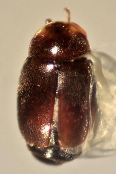 Corylophidae?