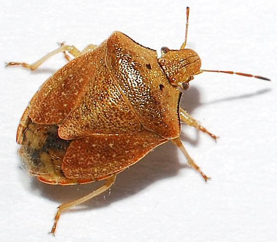 Stink Bug - Thyanta calceata