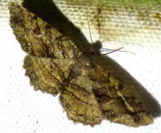 Melanolophia? - Melanolophia - female