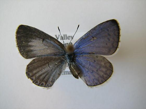 Bilateral gynandromorph - Celastrina echo - male - female
