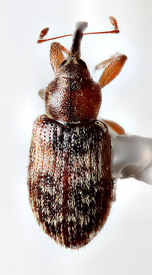small weevil - Dorytomus