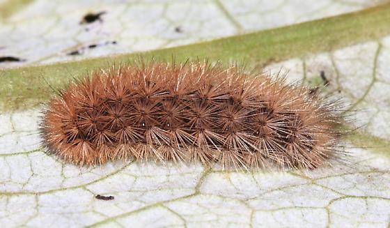 Ruby Tiger Moth - Phragmatobia fuliginosa