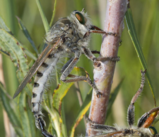 Robberfly - Promachus vertebratus