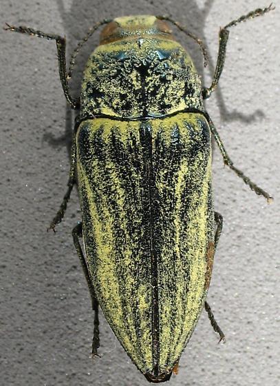 Species ID ? - Gyascutus planicosta