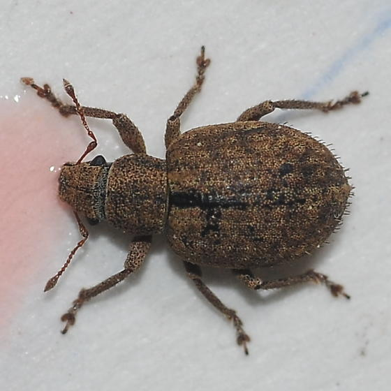 Weevil came home for dinner - Strophosoma melanogrammum
