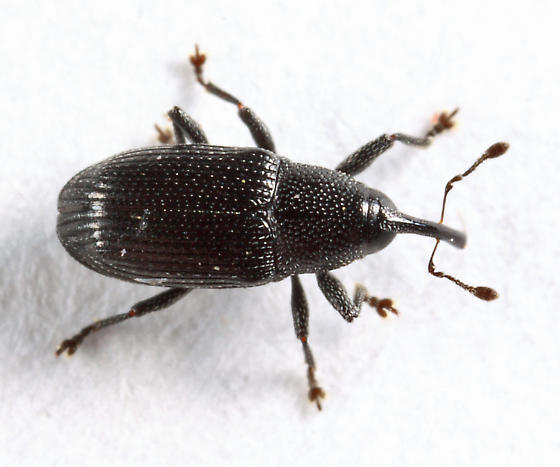 weevil - Sibariops - female