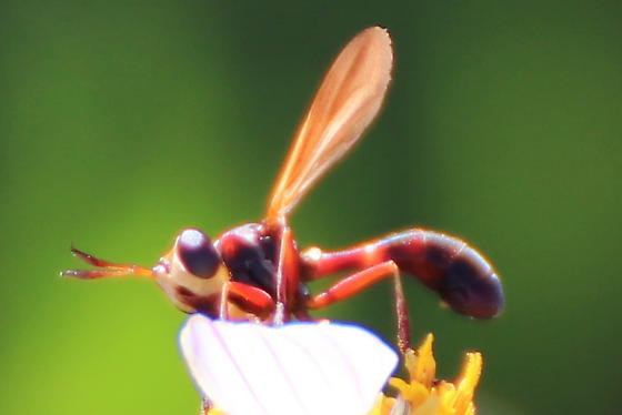 Another Thick-headed Fly? - Physoconops