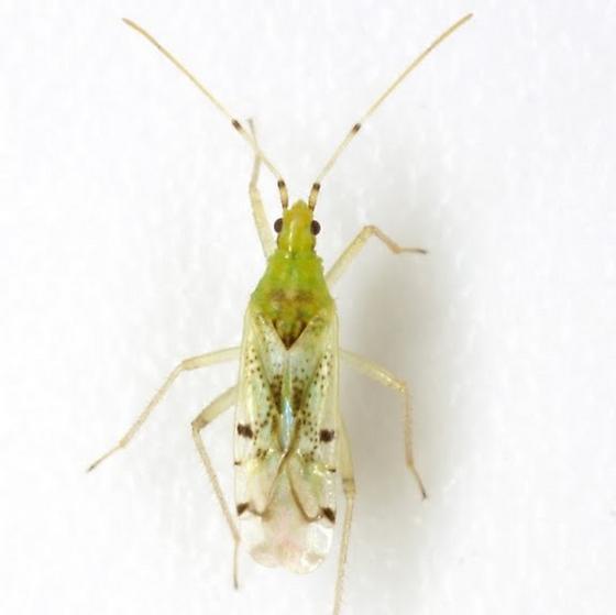Macrolophus brevicornis Knight - Macrolophus brevicornis