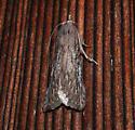 Dark Gray Bee Moth - Aphomia terrenella