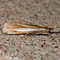 Crambus praefectellus - Common Grass-veneer - Crambus praefectellus