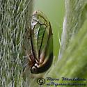 Treehopper 22 - Acutalis tartarea