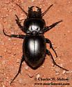 Pasimachus californicus? - Pasimachus californicus