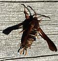 moth? - Vitacea polistiformis - male