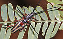 Double-banded Bycid - Sphaenothecus bilineatus - male - female