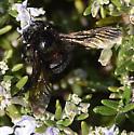 Black bumblebee (?) - Xylocopa varipuncta