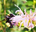 black & gold? - Bombus auricomus - female