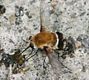 Bomber Fly - Heterostylum robustum - female