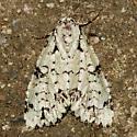 moth - Chloronycta tybo