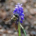 Bumble Bee - Xylocopa tabaniformis
