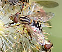 Lejops lineatus - female