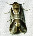 unknown moth - Baileya doubledayi